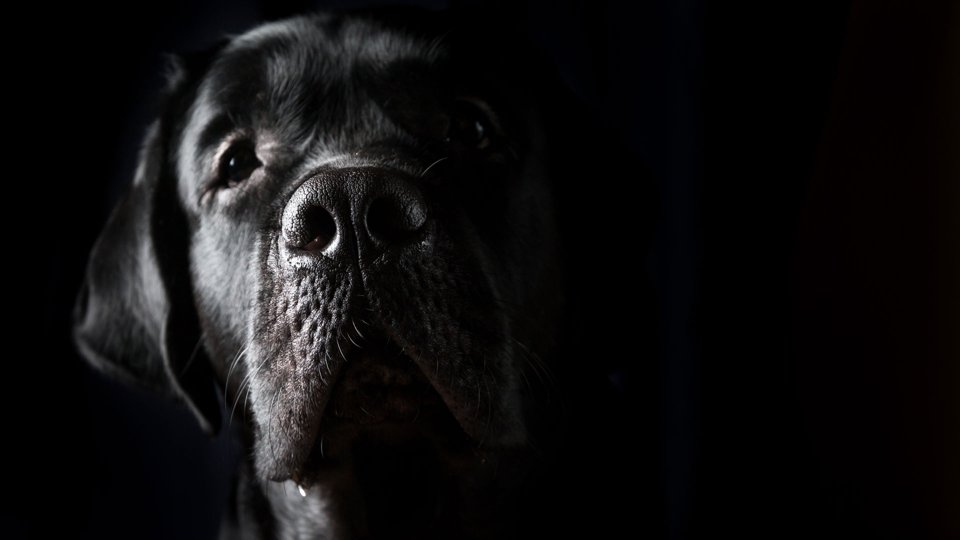 Closeup portrait of black Labrador dog on black background - Image