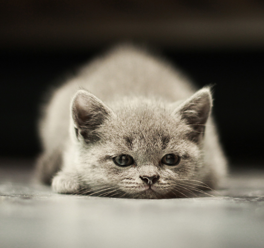 Sleepy british kitten over black background. Sweety british kitten. - Image